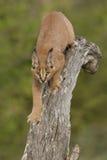 Caracal (Felis caracal) gehend hinunter Baum Südafrika Lizenzfreies Stockbild