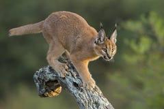 Caracal (Felis caracal) gehend hinunter Baum Südafrika Lizenzfreie Stockfotos