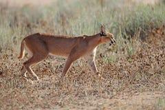 Caracal in natural habitat - Kalahari desert Royalty Free Stock Photography