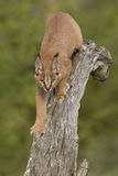 Caracal (Felis caracal) walking down tree  South Africa Royalty Free Stock Image