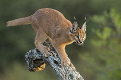 Caracal (Felis Caracal) Walking Down Tree South Africa Royalty Free Stock Photos