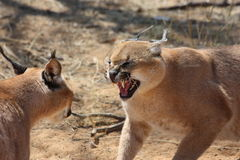Caracal Fight Stock Photos