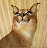 Close up of a Caracal head and neck in South Africa. Caracal frontal view of head, neck and face showing markings typical of a caracal Royalty Free Stock Photos