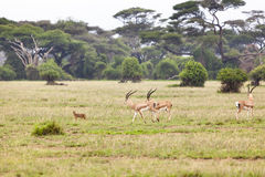 Caracal And Gazelles. A Caracal and some Grant's Gazelles in Amboseli National Park, Kenya Royalty Free Stock Photos
