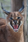 Caracal growl Royalty Free Stock Images