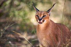 Caracal in Harnas Royalty Free Stock Photos