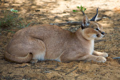 Caracal in Harnas Foundation in Namibia Royalty Free Stock Image