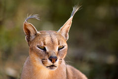 Caracal in Harnas Foundation in Namibia Stock Photos