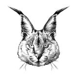 Caracal head Royalty Free Stock Photo