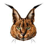 Caracal head Stock Images