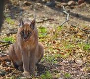 Caracal igualmente sabe como o gato dourado africano fotografia de stock