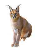 Caracal isolated stock photography