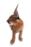 Caracal-Junge-Katze Lizenzfreie Stockfotografie