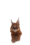 Caracal-Junge-Katze Stockfotografie