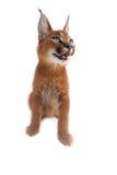 Caracal-Junge-Katze Stockfotos