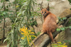 Caracal juvenile. The juvenile of caracal sitting on the wood Stock Photography