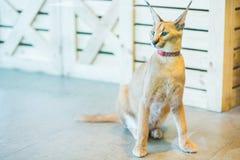 Caracal katt, stor katt, kattbakgrund Royaltyfria Bilder