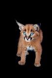 Caracal kattunge Fotografering för Bildbyråer
