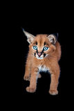 Caracal Kitten Stock Image