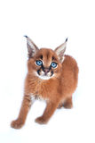 Caracal Kitten Royalty Free Stock Photos