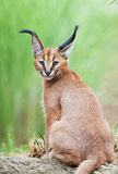 Caracal Kitten. This caracal kitten turns one ear towards the camera after hearing the shutter click Royalty Free Stock Photo