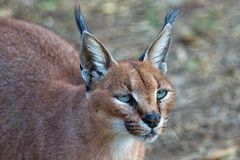 Caracal kruger national park Royalty Free Stock Image