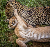 Caracal and leopard cat Stock Images