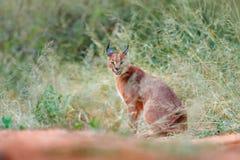 Caracal, lince africano, ocultado en la vegetación de la hierba verde Gato salvaje hermoso en el hábitat de la naturaleza, Botswa Imagenes de archivo
