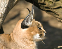 caracal lynx пустыни Стоковые Фото