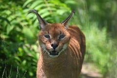 caracal lynx Стоковые Изображения RF