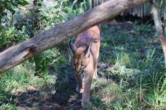 Caracal Stock Photos