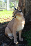 Caracal Royalty Free Stock Photography