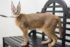Caracal,  6 months old, standing an bench at exhibition Royalty Free Stock Photography