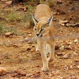 Caracal nahm in Namibia gefangen stockfoto