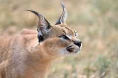 Caracal in Namibia stock photo