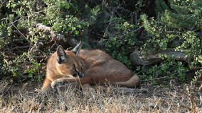 Caracal in natural habitat stock video footage