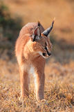 Caracal no habitat natural Imagem de Stock