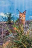 Caracal o lince di deserto Fotografie Stock Libere da Diritti