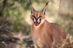 Caracal with Open month Stock Photography