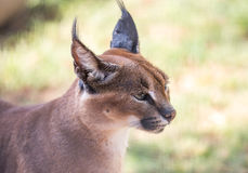 Caracal ou lince africano Foto de Stock Royalty Free