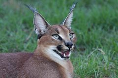 Caracal ou verticale de lynx Images libres de droits
