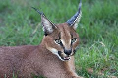 Caracal ou verticale de lynx Photo libre de droits
