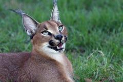 Caracal ou verticale de lynx Photographie stock