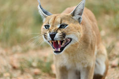 Caracal portrait in Namibia Royalty Free Stock Image