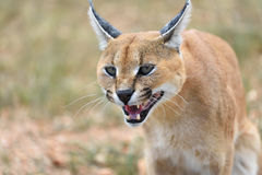 Caracal portrait in Namibia Stock Images