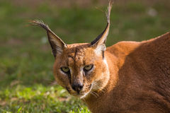 Caracal Portrait Royalty Free Stock Photo