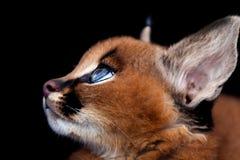 Caracal profil Royaltyfri Foto