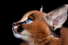 Caracal Profile Royalty Free Stock Photo