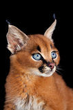 Caracal Profile. One Caracal Kitten on black background Stock Photo