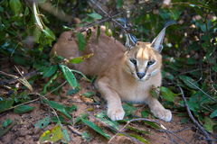 Caracal resting Royalty Free Stock Photo